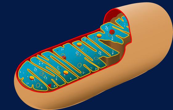 Mitochondire abstrakt